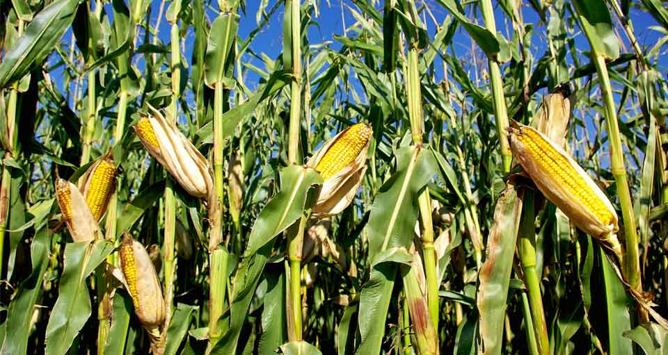 KP govt approves maize hybrid seeds to promote agriculture