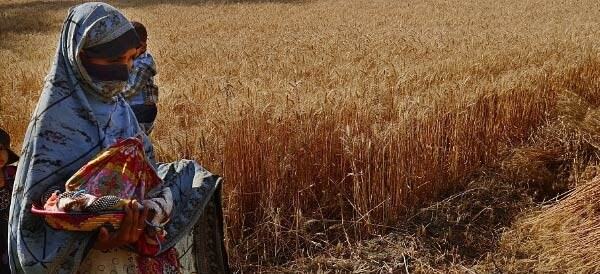 Smaller land holdings in Punjab yield lower harvest Pakistan Agriculture
